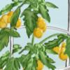 Heirloom Tomato Garden